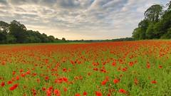 In the poppyfields (2016 #1) (stephen.darlington) Tags: uk flowers red summer england flower landscape surrey poppy poppies remembrance poppyfield