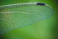 aile de libellule (pierre-david) Tags: macro vert rosee libellule matin aile