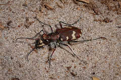Mein erster Dnen-Sandlaufkfer (Cicindela hybrida) :-) (AchimOWL) Tags: macro animal insect lumix tiere focus post outdoor wildlife ngc stack panasonic makro insekt tier kfer schrfentiefe laufkfer cicindelinae sandlaufkfer gx80