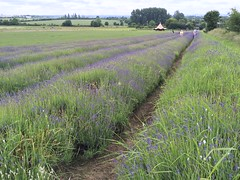 Hitchin Lavender (eyair) Tags: ashmashashmash uk england hitchinlavender hitchin ickleford lavender lavenderfield