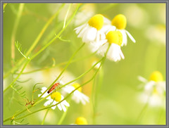 beetle on chamomile (Erik v Hassel) Tags: ngc beetle nature closeup macro haps erikhaps nikon d5100 nederland holland dutch beautiful fraai excellent flickr view splendid beauty best wonderful fantastic awesome stunning incredible magic nice perfect photo image shot foto lovely