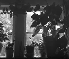 Stairway Window (MrApplegate713) Tags: blackandwhite plants mamiya window kodak trix 120film artie trix400 rb67 mamiyarb67 mamiyasekor127mmf38