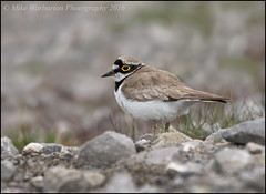 Little Ringed Plover (Mike Warburton Photography) Tags: summer mountain colour nature birds wales canon spring open wildlife sigma breconbeacons moorland migrant wader littleringedplover 70d