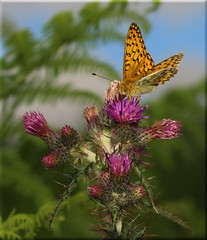 Argynnis aglaja  (Nickerzzzzz - Thanks for stopping by :)) Tags: uk nature butterfly insect outdoor wildlife wing photograph antennae nymphalidae darkgreenfritillary argynnisaglaja nickudy