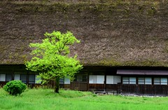 The rebirth (Myajima) Tags: tree japan  arbre japon shirakawa thatchedcottage chaumire ogimachi
