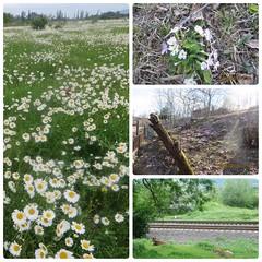 spring in Georgia (Ana Beridze Photography) Tags: chamomile flowers rayway georgia spring