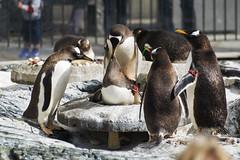 DSC_5102 (littleirons) Tags: acquarium bergen norvegia pinguino norwey