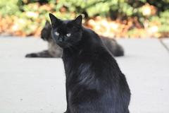 Goodbye Santana (Hazboy) Tags: cat kitty stray santana pussycat piscataway hazboy hazboy1