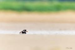 Hide & Seek (Ali Ly) Tags: summer bird beach sand nikon day outdoor shorebird rspb wader ringedplover charadriushiaticula d810 titchwellmarsh