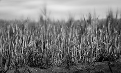Windy cornfield (Lassehn41) Tags: blackandwhite nature eos corn cornfield wind windy 7d 1585 ef1585mm