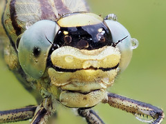 Western Clubtail (pen3.de) Tags: penf zuiko 60mmmakro wildlife natur naturlicht libellenportt libelle tropfen tropfenspiegelungen facettenaugen morgentau portrait