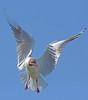 The art of flying (Arnt Kvinnesland) Tags: bird norway juni outdoor sommer gull birdsinflight seabird blackheadedgull kyst karmøy åkrasanden måker hettemåke sjæ åkrehamn sjøfugler kystfugler litlesandholmen