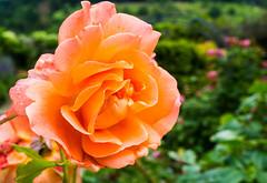 A rose with a lot of bokeh (musti_west) Tags: flower macro nature rain rose garden bokeh outdoor sony natur alpha blume makro neighbor garten regen bunt 6000 flourish nachbar blhen colerful