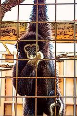 Oruangutang-7 (Almost_Sane) Tags: art animal zoo brantford twinvalley