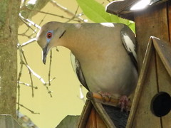 Mourning dove surveys the ground below (pawightm (Patricia)) Tags: austin texas mourningdove inmygarden centraltexas earlymay pawightm rscn0091