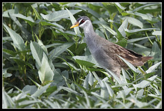 White-browed Crake (Gerald Yuvallos) Tags: bird nature birds canon philippines 7d cebu crake 2x 400mm mandaue 28is whitebrowed istoryanet fafagraphy