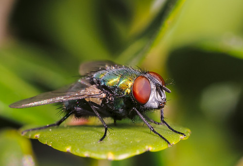 Fly on hedge leaf