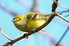 White Eyed Vireo (snidro) Tags: april marsh magee 2013 specanimal