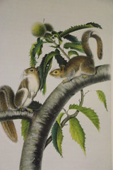 Squirrels (Digital Collections at the University of Maryland) Tags: umd williammorris hornbake umdlibraries umdwayzegoose