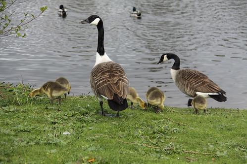 Pair of Canada Geese with 7 Goslings (17)