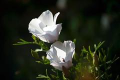 605 - 2 splendides fleurs  blanches (-Virtuelle-) Tags: plant flower nature fleurs plante natureza fleursblanches perfectpetals weloveallflowers livingjewelofnature