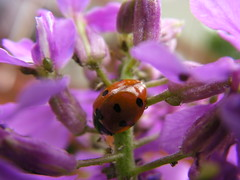 lady bug (cgrantham) Tags: flower farm ladybug bud organic aphid damesrocket