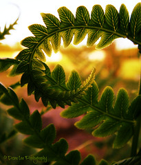 A fern showing off it's curves against the sunset.  Part of Nature's Vibrations (Des Lea) Tags: sunset flower fern green nature leaves swirl