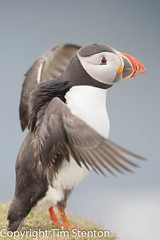 Puffin (Fratercula arctica) 12 Jun-11-272 (tim stenton) Tags: uk bird islands scotland tim naturereserve puffin shetland unst rspb fraterculaarctica auk hermaness shetlandisles timstenton