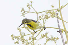 Olive-backed Sunbird (johnawrightphotography) Tags: flowers male thailand eclipse feeding lamphun olivebackedsunbird nectariniajugularis