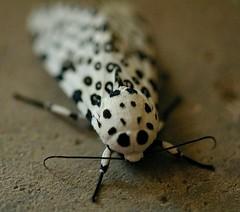 Tiger Eyed Moth (Dino Langis) Tags: art gallery insects moths macros museums shining vividimagination shockofthenew excapture excapturemacro awardtree dragondaggeraward cedruseternum