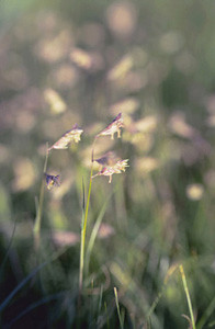 Photo - Buffalo Grass