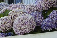 Hortensias del norte/North Hydrangeas (Joe Lomas) Tags: leica france purple m8 francia hydrangeas paisbasque morado aquitaine hortensias aquitania paisvascofrances photostakenwithaleica leicaphoto