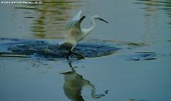 GARZETTA PRENDE IL VOLO ( Egret takes flight ) Oasi di Torrile Parma ( Oasis di Torrile Parma ) http://www.lipu.it/oasi/oasidettaglio.asp?133 (DIOGENE12) Tags: park parco nature birds animals natura uccelli oasis animali oasi garzetta