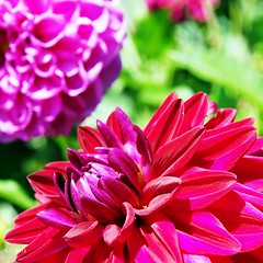 Red dahlia - Rote Dahlie (einervonneruhr) Tags: dahlia red flower macro rot nature square dof bokeh natur olympus blume makro omd 1x1 quadrat quadratisch dahlie 500x500 1250mm mzuiko