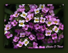 Clear Crystal Lavender Shades Alyssum (ctofcsco) Tags: 180mm 1div alyssum canon clearcrystallavendersweetalyssum closeup colorado coloradosprings explore flower lavender macro pink sweet unitedstates usa white yellow springs united states co 1d mark iv ef180mm f35l usm ef180mmf35lmacrousm america northamerica telephoto bokeh eos1d eos1dmarkiv eos 4 mark4 best wonderful perfect fabulous great photo pic picture image photograph esplora explored