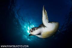 Green turtle (Chelonia mydas) (Piñatel) Tags: canon contraluz eos tortuga cheloniamydas tortugaverde 600d tokina1017mm blinkagain canoneos600d