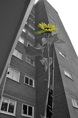 nearly 8 foot high (dawn.v) Tags: uk england plant flower building september sunflowers dorset athome tall growing bournemouth selectivecolour appartments