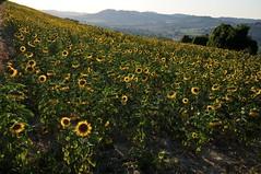 girasoli - sunflowers (luporosso) Tags: summer naturaleza nature contraluz landscape landscapes nikon natura giallo sunflowers sunflower paesaggi girasole paesaggio controluce girasoli naturalmente