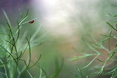 The forest of the ladybug #1 (Celeste Messina) Tags: nikon focus bokeh ladybug 90mm celeste coccinella d5000