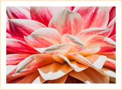 A Pile of Petals (lclower19) Tags: dahlia red macro closeup petals nikon peach lisa monson 105mm d90
