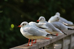 Funny birds 3 - Lined up