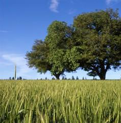 img004.jpg (Aaron Bieleck) Tags: trees summer 6x6 film field oregon mediumformat square landscape fuji farm wheat 120film crop blueskies helvetia 80mm velvia50 hasselblad500cm