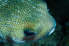Porcupine fish up close and personal (b.campbell65) Tags: ocean travel sea wild vacation fish seascape color sports nature water beautiful beauty animal closeup danger swimming swim outdoors island coast marine colorful underwater natural outdoor wildlife bottom dive scenic scuba diving sealife exotic tropical spike caribbean diver aquatic puffer reef prickly undersea pufferfish blowfish porcupinefish saltwater poisonous venomous diodonholocanthus highangleview spinyballoonfish marnepark