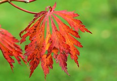 Acer - Japonicum Aconitifolium (1) (Richard Collier - Wildlife and Travel Photography) Tags: autumn tree colours acer