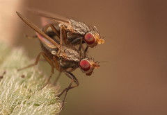 Flies (ronibiza) Tags: macro nature insect flies
