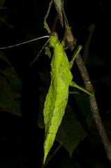 Heteropteryx dilatata, Tanah Rata (MichaSauer) Tags: highlands insects cameron malaysia stick gunung tanah rata brinchang irau