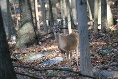 Official Welcoming Committee (eyriel) Tags: vacation mountain nature animal forest mammal woods wildlife doe deer