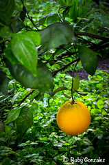 Naranjas are orange  (ilikethesnakeonyourtattoo) Tags: trees summer orange plants naturaleza black blur color verde green art texture textura nature water frutas fruits beauty grass leaves composition garden season mexico hojas photography stem agua plantas bellasartes arboles arte natural upsidedown branches exploring fineart rich perspective photographers sharp depthoffield gotas growth artists artistas saturation verano citrus oranges lush fotografia waterdroplets rancho lightroom vibrance naturephotography ramas luminosity fotografos colordodge dodgeandburn vigniette michoacanmexico oklahomaphotographers narangas editingtechniques photoshopcs6 nikond5100 elmarijo rubygonzalezphotography