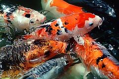 Koi Carp gathering (Vern Krutein) Tags: fish water animal fauna underwater koi carp aquatic fishes animalia freshwater vertebrate cyprinidae chordates chordata gnathostomata osteichthyes actinopterygii actinopterygi cypinuscarpio