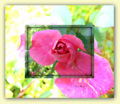In acidic style. (tarelkaz1) Tags: flowers roses summer macro green texture garden flora memories experiment topshots flowersarebeautiful excellentsflowers natureselegantshots naturethroughthelens sonydscs730 theoriginalgoldseal mygearandme ipiccy